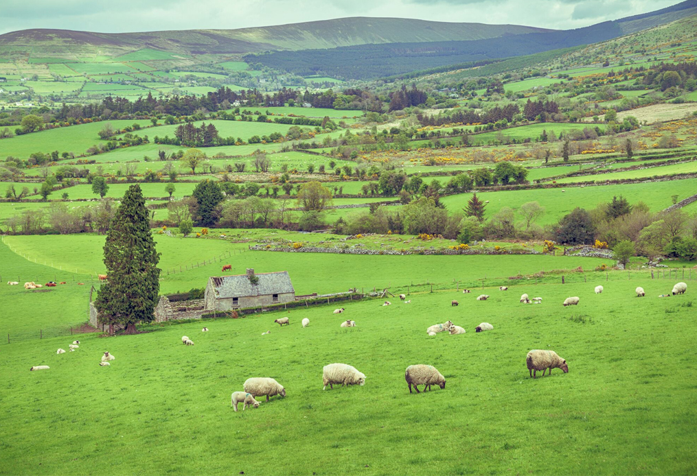 Sheep grazing in Ireland