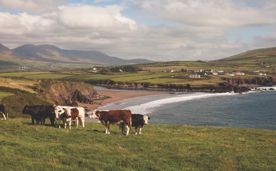Cows in Dingle