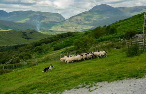Sheepherding demonstration in Ireland